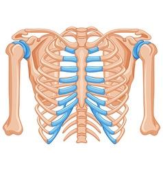 Shoulder bone on white background vector image vector image