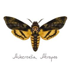 Acherontia atropos vector image vector image