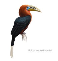 Rufous-necked hornbill vector