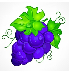 Cluster blue grapes on white vector