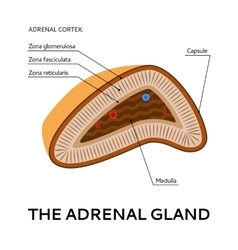 The adrenal gland medical scheme vector