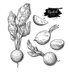 Radish hand drawn set vector