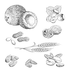 Nuts seeds beans and wheat sketches vector