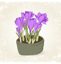 Crocus in the pot vector