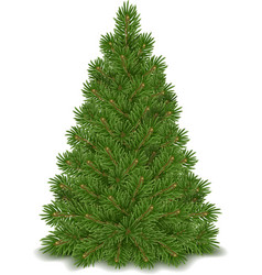 Fir tree isolated vector