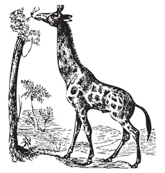 Old giraffe engraving vector