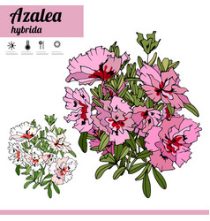 Exotic plant azalea isolated on white background vector