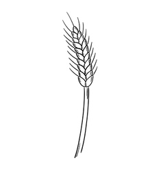 sketch of the barley vector image