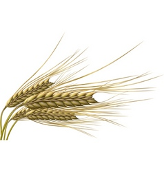 Wheat grain vector