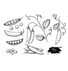 Pea hand drawn set isolated vector