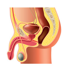 Male reproductive system isolated vector
