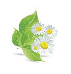 daisies and green leaves vector image vector image