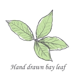 Hand drawn raw bay leafs sketch vector