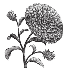 Double China Aster vintage engraving vector image