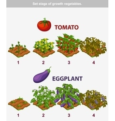 Stage of growth vegetables tomato and eggplant vector