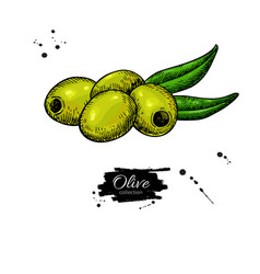 pitted olive with leaves hand drawn vector image vector image