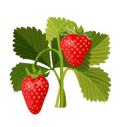 Strawberry with green leaves isolated on white vector