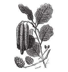 Alder vintage engraving vector image