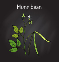 mung bean vigna radiata with leaves and pods vector image vector image