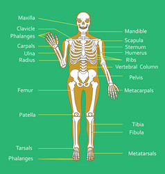 Medical education chart of biology for human vector