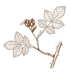 Rosa andegavensis vector