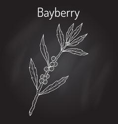 Bayberry myrica cerifera or southern wax myrtle vector