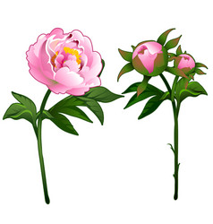 blooming peony and non-blooming pink rose vector image