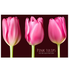 spring pink tulips vector image vector image