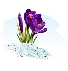 Purple crocus on a blue background vector