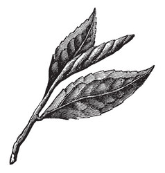 three tea leaves vintage vector image vector image