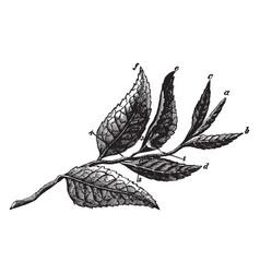 plucked tea leaves vintage vector image vector image