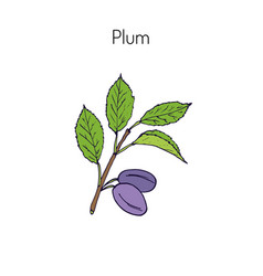 plum branch with leaves vector image