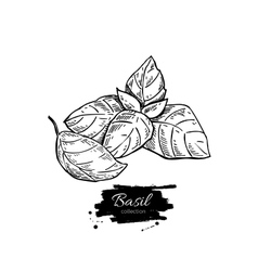Basil drawing set Isolated plant with vector image