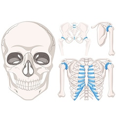 Human skull and other parts of bones vector image vector image