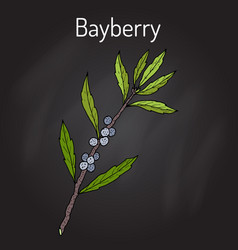 Bayberry myrica cerifera or southern wax myrtle vector