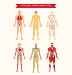 Male body organ systems poster vector