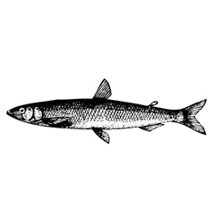 European smelt fish engraving vector image