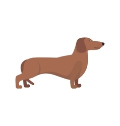 Light Brown Dachshund breed standing on white vector image vector image
