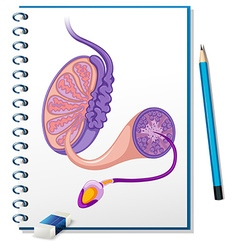 Male reproductive diagram on paper vector