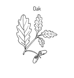 oak branch with green leaves and acorns vector image