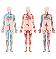 Different diagram of blood vessels in human vector image vector image