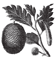 Breadfruit Artocarpe vintage engraving vector image