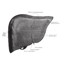 Liver from front vintage vector
