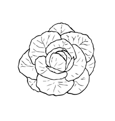 Hand drawn black and white cabbage vector