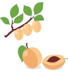 Apricot set apricots pieces and slices vector