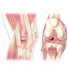 Knee anatony vector image vector image