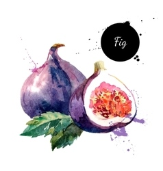 Hand drawn watercolor painting fruit fig on white vector