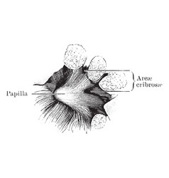 Kidney sinus wall vintage vector