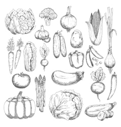 Wholesome farm vegetables sketches set vector