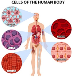 Cells of the human body vector